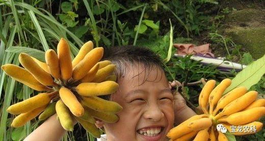 皇妃蕉种子批发